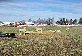Brood ewes in pasture