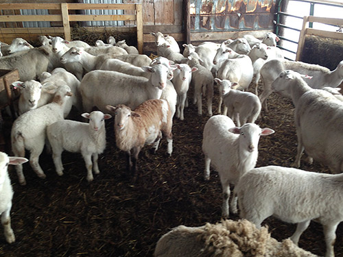 Commercial flock of Katahdin ewes